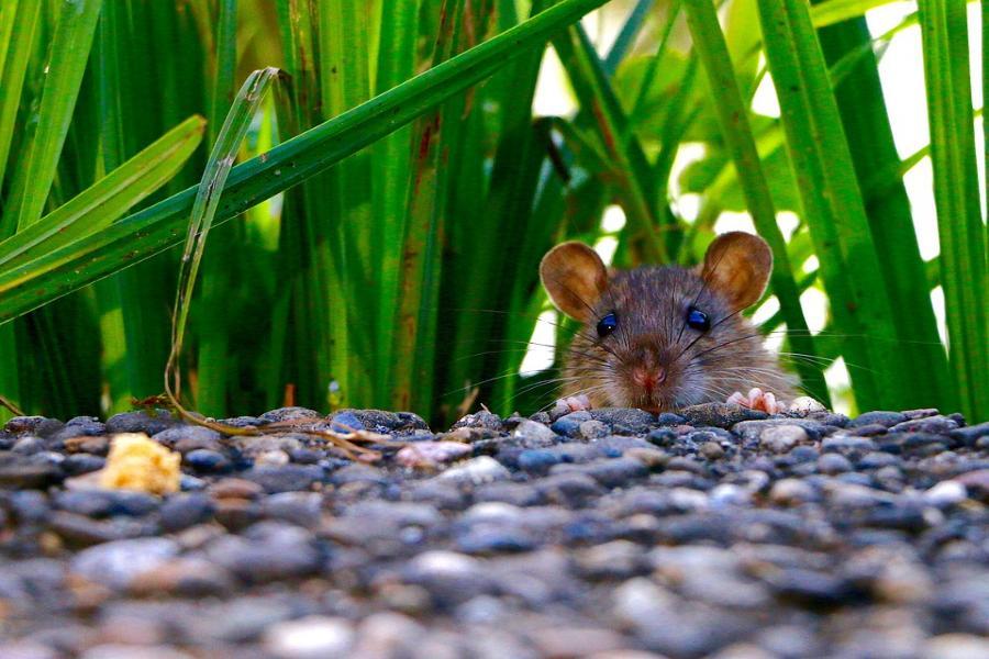 Уничтожение грызунов, мышей и крыс в Московской области