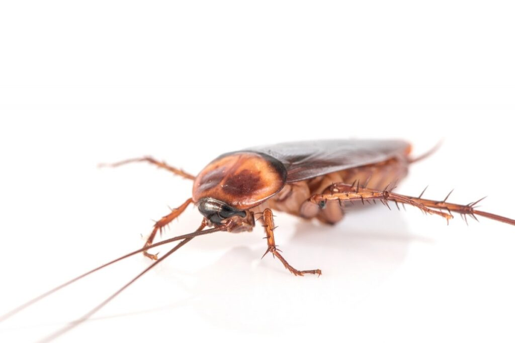 Домашние тараканы в квартире
